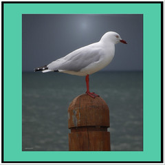 One legged gull. (agphoto100) Tags: sea seagull bird water waterbird post wood feathers white beak light dark sky storm leg framed olympus sz16 brisbane bay agphoto100