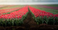 Lowland Charm (SimonTHGolfer) Tags: landscape landscapephotography flowers farm tulips norfolk uk spring simontalbothurnphotography flora nature