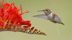Floral Symbiosis (photosauraus rex) Tags: hummingbird bird outdoor vancouver bc canada crocosmia floralsymbiosis rufoushummingbird selasphorusrufus