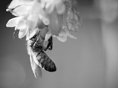 Abeille en plongée florale. (steph20_2) Tags: panasonic lumix gh3 m43 sp90 tamron closeup macro monochrome monochrom abeille insecte insect noir noiretblanc ngc blanc black bw white skanchelli printemps spring honeybee