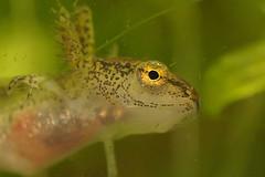 Lissotriton montandoni, larvae (henk.wallays) Tags: aaaa amphibia bộcóđuôi chordata carpathiannewt caudata europäischemolche henkwallays karpatenmolch karpatsalamander kuyruklukurbağalar lissotriton lissotritonmontandoni mlokkarpatský nature pyrstösammakot płazyogoniaste stages salamandern salamandridae semenderler traszkakarpacka triturusmontandoni amfibie amfibien amphibie amphibien anfíbios caudado caudados closeup farkoskétéltűek gewervelden kárpátigőte larvae lurche macro mlok molche natuur newt salamander salamandras salamanterieläimet schwanzlurche triton tritondemontandon tritonedimontandon tritãodoscárpatos urodela urodele urodelos vertebrata vertebrate wildlife земноводні карпа́тскийтрито́н тритонкарпатський хвостаті саламандра 鯢