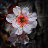 Signs of Spring (arbyreed) Tags: arbyreed blossom plumblossom plumflower close closeup squareformat spring springflowers