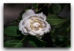 DELICADA. (manxelalvarez) Tags: rosa flores flora rosablanca naturaleza rosacentifolia rosaboladenieve