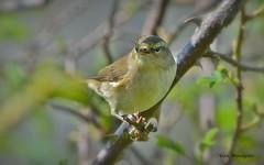 Chiffchaff - Buckinghamshire (Alan Woodgate) Tags: warbler