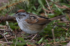 Swamp Sparrow (Jeremy Meyer) Tags: swampsparrow swamp sparrow bird lakepark