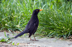 Merle noir (JeanJoachim) Tags: merlenoir turdusmerula commonblackbird passeriformes turdidae oiseau bird vogel aves uccello fågel fugl pássaro バード lintu птица ptak amsel smcpentaxf300mmf45edif pentaxk5ii