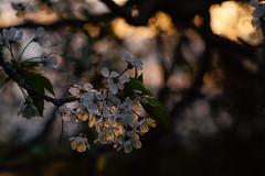 Spring evening (frantiekl) Tags: blossom wild wildflowers light tree cherry flora bloom blossoming springtime spring april evening alley easter cherryblossom nature bokeh depthoffield bohemia