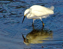 White Egret, San Dieguito River, Del Mar, CA (iseedre) Tags: egret whileplumes bird wader fishing lowtide watergrass beal