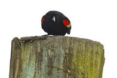King of the World (bmasdeu) Tags: spring mating ritual display bird redwing blackbird wetlands florida
