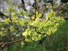 Wych Elm (JulieK (enjoying Spring in Co. Wexford)) Tags: wychelm tree seeds bokeh nature ireland irish 2017onephotoeachday ulmusglabra htmt green