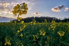 yellow fields (MrHansFromSomewhere) Tags: sony sonyimages sonyalpha sonya6000 sonyalpha6000 sonnenuntergang sonne spring frühling canola sigmaart sigma sigma19mm28 sunset sun cloudsstormssunsetssunrises clouds colors colorfull countryside niedersachsen germany deutschland norddeutschland lowersaxony