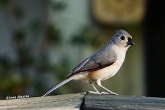 Tufted Titmouse (Anne Ahearne) Tags: bird birds animal nature wildlife tufted titmouse