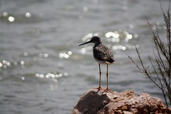 Some Sort of Shorebird