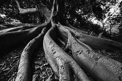 The Banyan Tree (rikioscamera) Tags: garden palosverdesestates southcoastbotanicgarden bw banyantree blackandwhite d750 lightroom lowkey monochrome nikon silverefexpro tree
