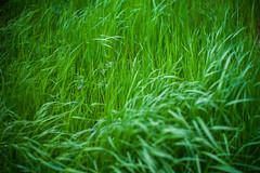 small pinks (N.sino) Tags: m9 summiluxm50mm weed pink smallflower grass grassy 草むら 雑草 カラスノエンドウ 野川 野川公園 武蔵野公園