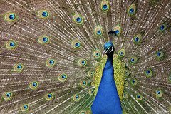 Confusion (Thijs de Bruin) Tags: peacock pauw natuur nature feather pfau pavone pavoreal