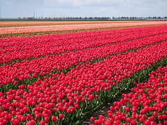 Tulip fields (EvelienNL) Tags: flower flowers tulip tulips flowerfield flowerbed bulbfield tulpen bloemen bloemenveld bloemenvelden tulpenveld tulpenvelden bollenveld bollenvelden dutch holland netherlands flevoland flevopolder red rood rode orange oranje field colourful