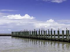 Pelicans On a Pier (Mabry Campbell) Tags: 2016 h5d50c hasselblad june mabrycampbell tx texas texascity texascitydike usa unitedstatesofamerica birds coast coastal colorimage commercialphotography cormorant dike fineart fineartphotography image marina nopeople outdoors pelicans photo photograph photographer photography pier pilings sunny water f28 november 2012 november102012 201211107870 200mm ¹⁄₁₆₀sec 100 ef200mmf28liiusm