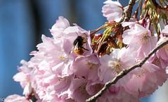 im Blütenhimmel (konstantin oxy) Tags: makro baum blume rosa pink leben flower blüte blühen biene hummel bees insekt