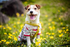 Only the wind knows where it will carry our dandelion souls (moaan) Tags: asukamura nara japan jp dog jack jackrussellterrier kinoko dogportrait dandelion springcolor spring yellow bokeh dof urata 2017 ishibutaikofun canoneos5dsr ef50mmf14usm