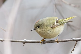 Roitelet A Couronne Rubis / Ruby-Crowned Kinglet