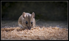 Field mouse in the garden (B Ryder) Tags: field mouse back garden ayr wildlife nikon d500 sigma 70200mm f28