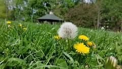 Miller Park (Dan Keck) Tags: franklincounty spring dandelion seed white gazebo