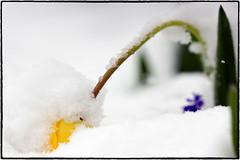Frühling versteckt sich - Hidden spring (Klaus1953) Tags: winter frühling spring schnee snow tulpe tulip gelb yellow weis white natur nature pflanze plant bulme flower hidden versteckt bedeckt covered traubenhyazinthe grapehyacinth grün green nahaufnahme closeup garten garden sony a77 sonya77 samyang samyang1352 rokinon sonyalpha