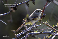 Hammnd's Flycatcher  ( Empidonax Hammondii ) (Edhorton) Tags: spring mt ranch las vegas nevada wildlife birding hammnds flycatcher empidonax hammondii