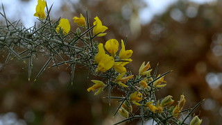 Ulex europaeus (Fabaceae) (Bergius Botanic Garden, Stockholm, 20170312)