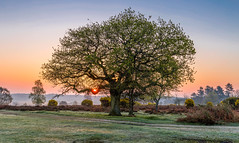 Sun Bough (nicklucas2) Tags: newforest nature mogshade tree sunrise sun oak landscape