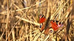 A Scent of Spring (Skylark92) Tags: nederland netherlands holland amsterdam oost east zeeburgereiland vlinder dagpauwoog peacock butterfly riet insect outside grass gras spring lente