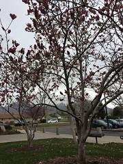 IMG_0608 (augiebenjamin) Tags: lakeviewparkway lakeshoredrive provo utah mountains provorivertrail trees spring winter spanishfork nebo bicentennialpark oremcity provocity utahvalley utahcounty oremarboretum
