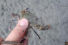 Indo-Pacific Swimming Crab - Charybdis hellerii (puffinbytes) Tags: spb:id=02w4 charybdis taxonomy:genus=charybdis charybdishellerii taxonomy:species=hellerii taxonomy:binomial=charybdishellerii spb:species=charybdishellerii indopacificswimmingcrab taxonomy:common=indopacificswimmingcrab portunidae taxonomy:family=portunidae swimmercrabs decapoda taxonomy:order=decapoda malacostraca taxonomy:class=malacostraca arthropoda taxonomy:phylum=arthropoda arthropods animalia taxonomy:kingdom=animalia animals railaybeach spb:pty=fh spb:pid=0vlu spb:lid=00eb spb:country=th thailand