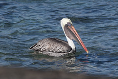 Adult Brown Pelican at Chinese Hat S24A5841 (grebberg) Tags: bird chinesehat galapagos ecuador january 2017 brownpelican pelecanusoccidentalis pelican pelecanus adult pelecanusoccidentalisurinator