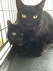 Louise (left - 8 month old spayed female)  and Sophia (right - 2 year old spayed female)