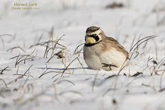 Horned_Lark_WEB_2U6A7365 (beeton_bear) Tags: beetonbear snow white cold bird ave aves nature wild wildlife mask masked horn horned hornedlark ontario canon claudelecours