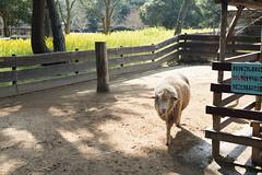 . (Wunkai) Tags: fukuokashi fukuokaken japan jp uminonakamichiseasidepark 海の中道海浜公園 動物の森 zoo 福岡 sheep 綿羊 fence 柵欄 圍籬 sunlight 九州 kyushu