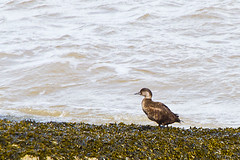 Common Scoter - Female (David in SK6) Tags: melanittanigra hilbreisland
