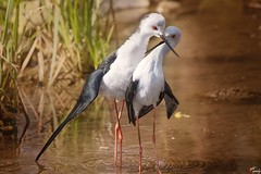 It's love! (LightRapsody) Tags: cavalieri cavaliereditalia corteggiamento oasi palude amore