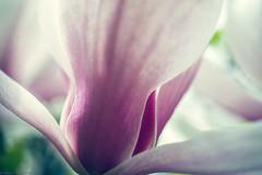[ the last of her kind ] (frau_k) Tags: magnolia spring awake macro