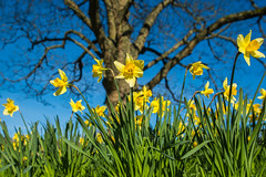 Spring At Himley Hall (williamrandle) Tags: 2017 himleyhall dudley westmidlands uk england spring daffodils springflowers blooms trees dof depthoffield yellow green blue pretty beauty nikon d7100 tamron2470f28vc oiutdoor