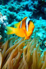 Clownfisch (mpetermandl) Tags: fisch fish clownfish anemone underwater egypt platinumheartaward nature sea scuba diving dive redsea marius petermandl rx100 orange blue contrast uw