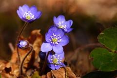 Blåsippor (evisdotter) Tags: blåsippor anemonehepatica flower blomma spring nature macro bokeh sooc light colors coth5