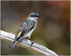 Yellow-rumped Warbler, Myrtle (male) DSC_4061 (blindhogmike) Tags: warbler bird yellowrumped west columbia sc southcarolina