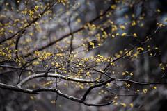 サンシュユ (moriyu) Tags: japan tokyo nikon d700 flower plant 東京 ニコン 花 植物