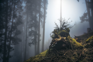 Tree stump in fog