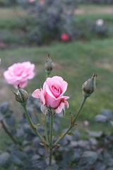 To All Those Who, Like Me, Devote Their Life Reading Diana Trash (Mayank Austen Soofi) Tags: delhi walla rose flower princess diana lodh gardens