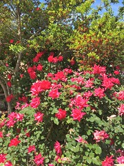 Roses in San Angelo, Texas (Diann Bayes) Tags: sanangelo texas angelo conchovalley westtexas