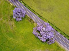 DJI_0137 copy (Aaron Lynton) Tags: jacaranda tree purple purps kula upcountry maui drone mavic djimavic dji hawaii dakine